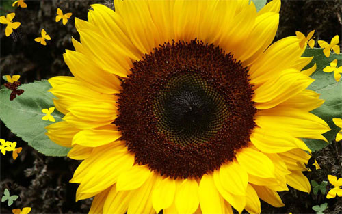 Bold Sunflower wallpaper