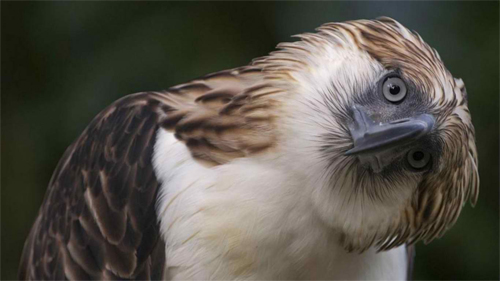 Philippine Eagle 2 wallpaper