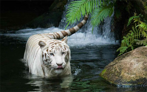beautiful white tiger_102197 Wallpaper