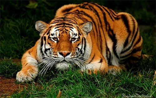 tiger_71645 Wallpaper