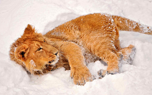 Lion in Snow_94411 Wallpaper