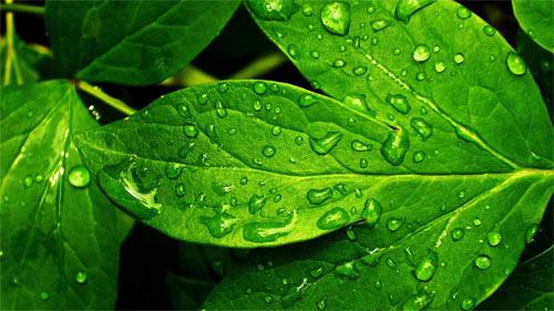 green leaf_25907 Wallpaper