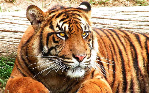 Tiger_71527 Wallpaper