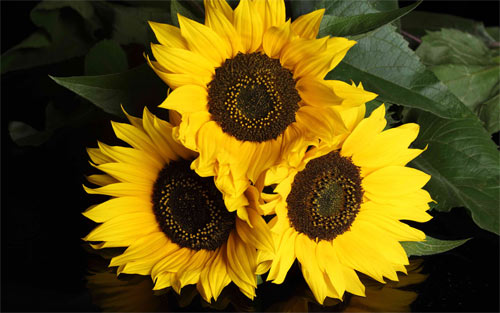 Sunflower trio wallpaper