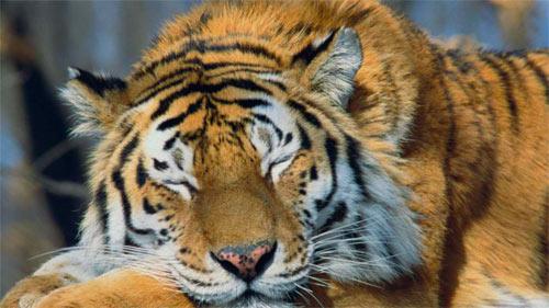 Sleeping Siberian Tiger wallpaper