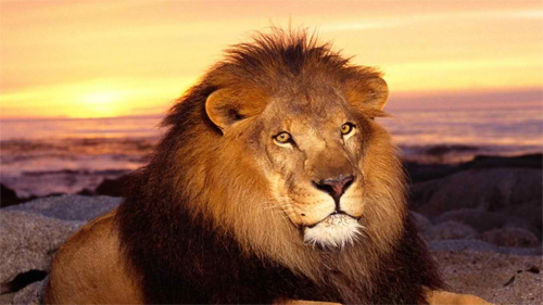 majestic lion wallpaper