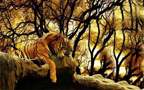 tiger_52232 Wallpaper