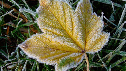 FROSTED LEAF wallpaper