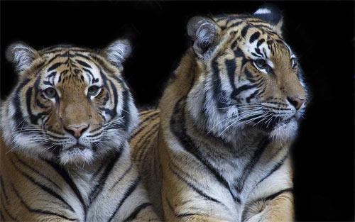 Tigers_49231 Wallpaper