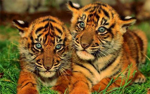 Big Tiger_102972 Wallpaper