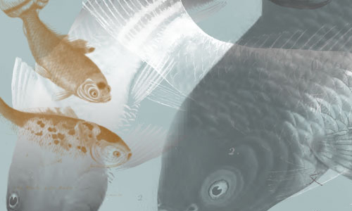 Goldfish of China