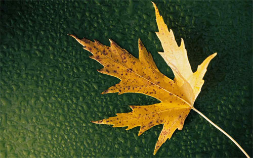 Maple Leaf_93260 Wallpaper