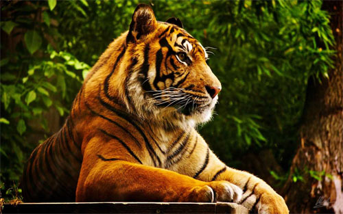 Tiger the King_85974 Wallpaper