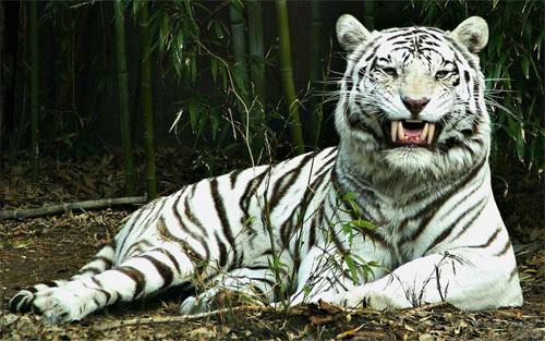 Albino-tiger_71107 Wallpaper
