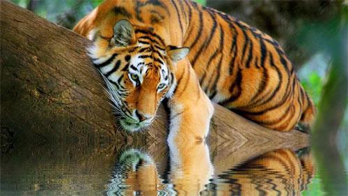 Tiger Reminiscing_91565 Wallpaper