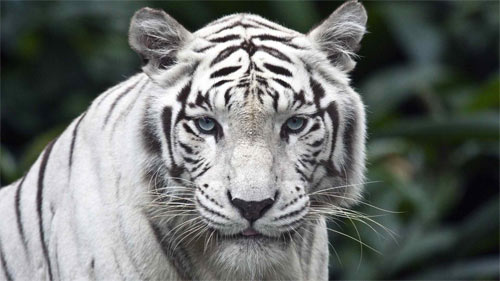 White Tiger_71851 Wallpaper