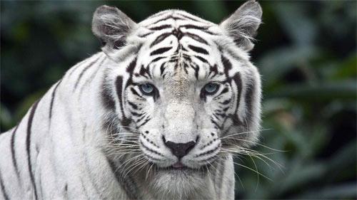 White Tiger_71851 Wallpaper