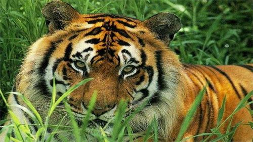 Tiger in Grass_17429 Wallpaper