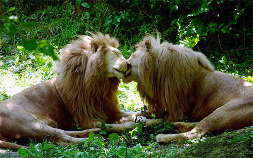 Lion Brothers_92581 Wallpaper