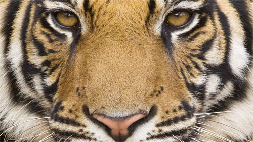 Mighty Tiger wallpapers_100548