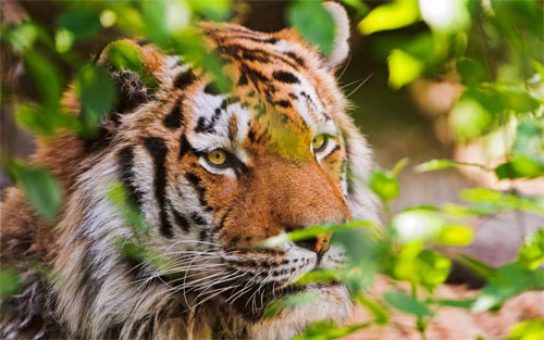 Royal Bengal Tiger_92333 Wallpaper