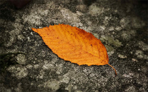 Fallen Leaf_89333 Wallpaper