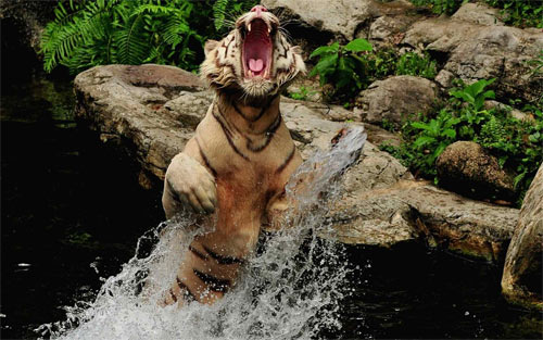 Tiger_84875 Wallpaper