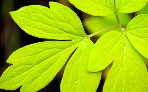 Green leaf_45725 Wallpaper