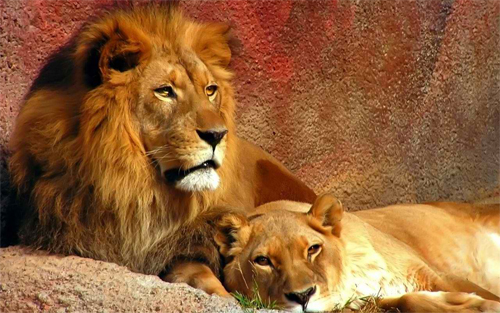 Lion couple_71199 Wallpaper