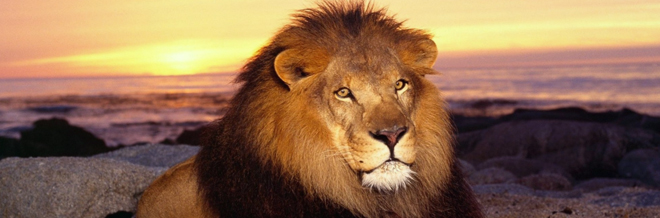 35 Free Examples of Mighty Lion Wallpaper