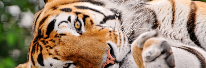 35 Ferocious Tiger Wallpaper for your Desktop