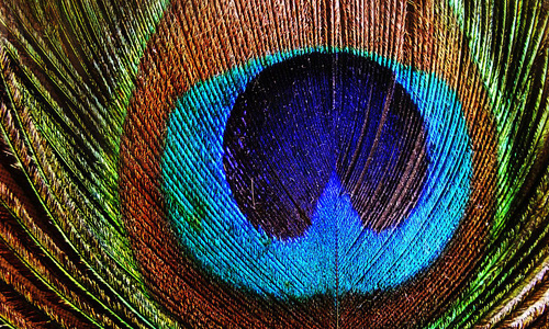 Peacock colourful feather beautiful texture