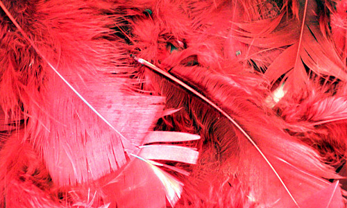 Red feather beautiful texture