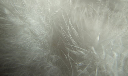 White angelic feather beautiful texture