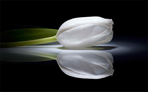 white tulip_20417 Wallpaper