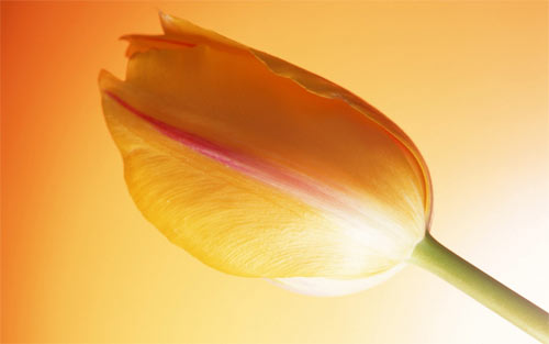 Hot Tulip wallpapers