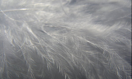 Angelic white feather beautiful texture