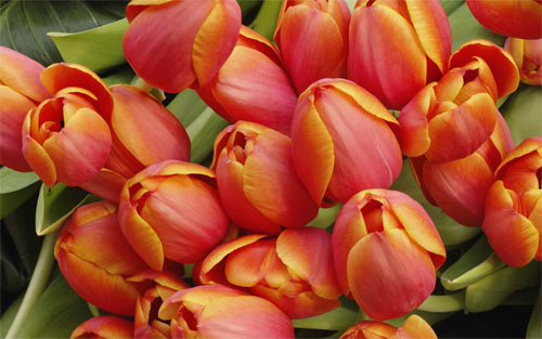 Tulip arrangement wallpaper