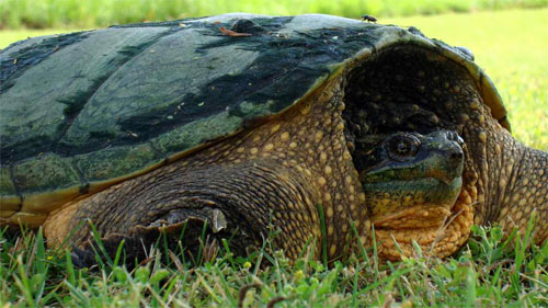 Snapping Turtle wallpaper