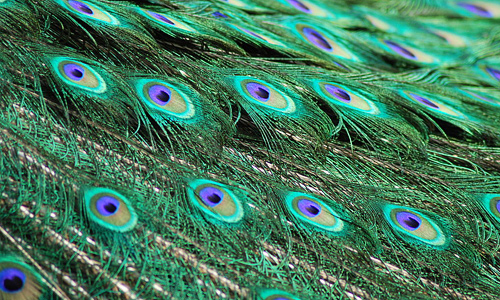 Peacock male feather beautiful texture