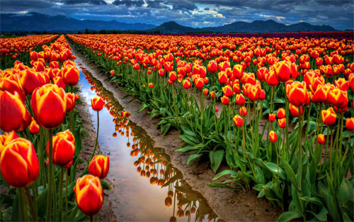 Field Of Tulips Wallpaper