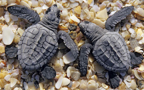 Baby Turtles wallpaper
