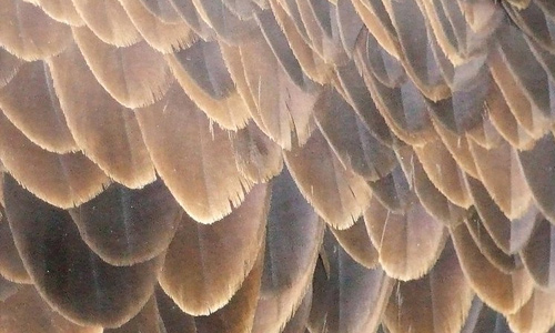 Eagle brown feather beautiful texture