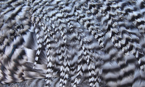 Stripe chicken feather beautiful texture