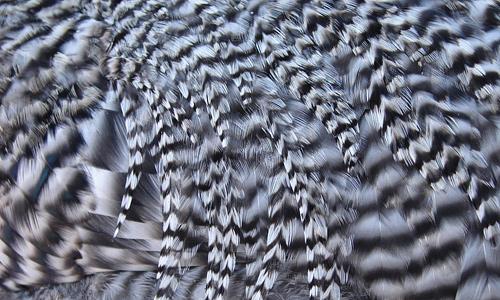 Stripe chicken feather beautiful texture