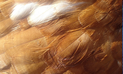 Chicken brown feather beautiful texture