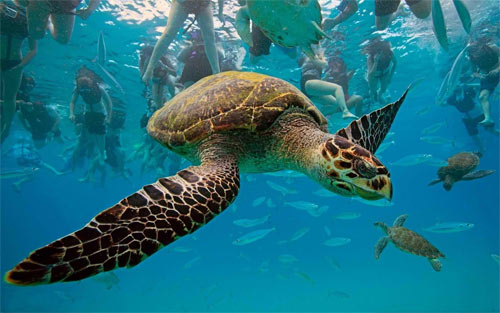 Turtle,underwater,ocean_29109 Wallpaper