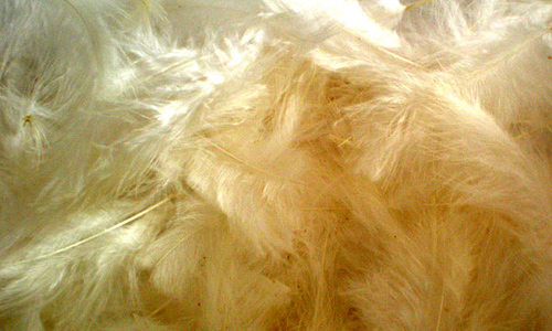 Pale yellow feather beautiful texture