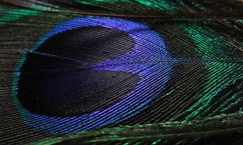 Peacock feather beautiful texture