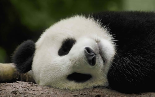 Sleeping Panda Wallpaper